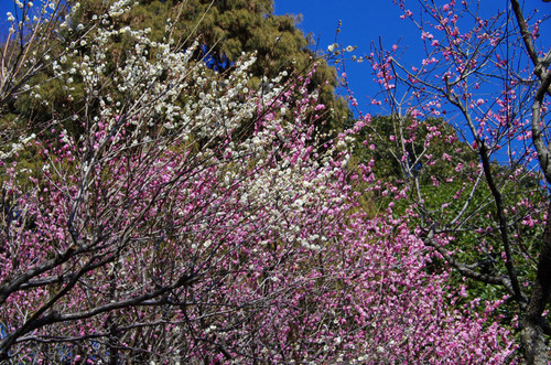 百草園梅まつり201102-9