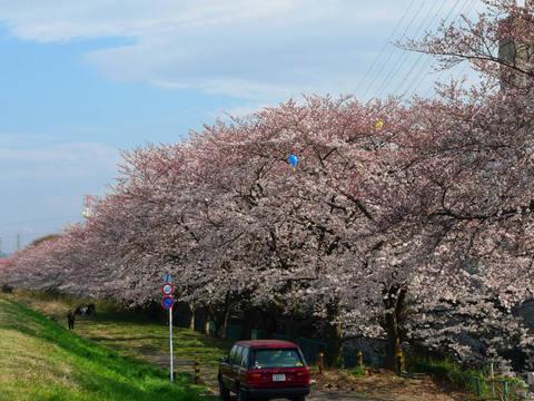 多摩川花見2009-10