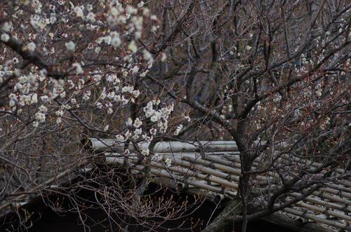 京王百草園20120303-6