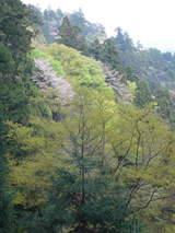 高尾山0420新緑と山桜