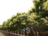 栗200806-4