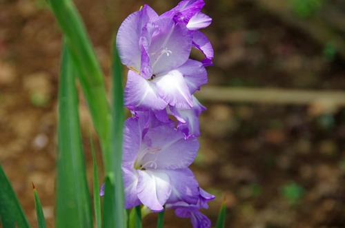 夏の花201107-5