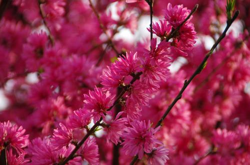 4月の花201104-6