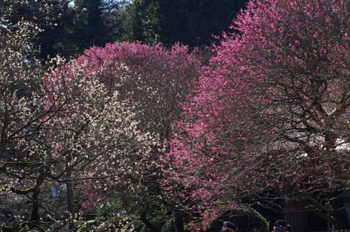 百草園梅まつり201102-5
