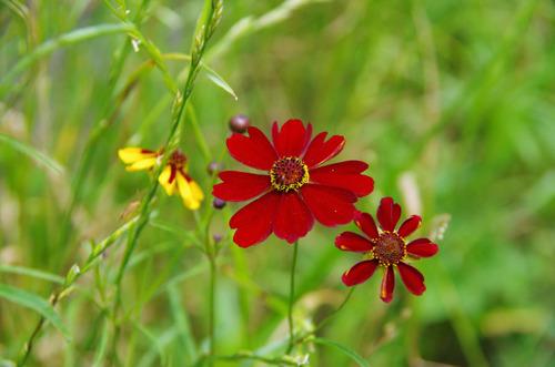 散歩道の花201107-2波斯菊 (はるしゃぎく)