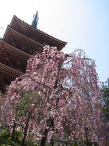 高幡不動の垂れ桜-2