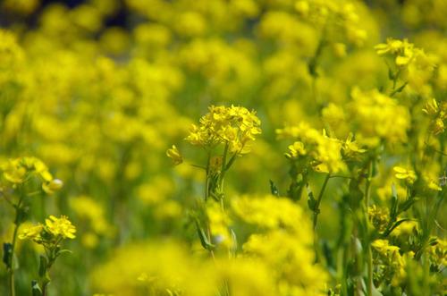 菜の花201103-1