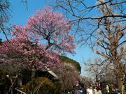 百草園梅祭090207-9