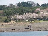 本栖湖湖畔からの桜