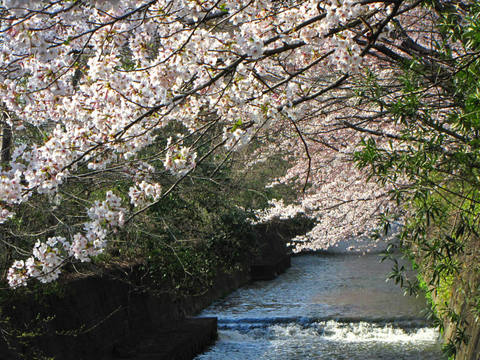 多摩川花見2009-8
