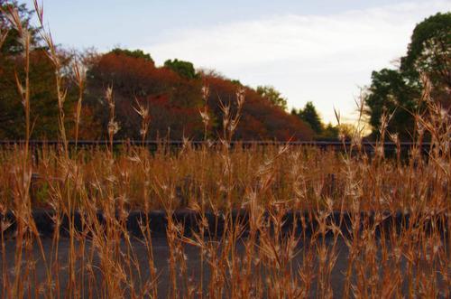 昭和記念公園紅葉201211-12