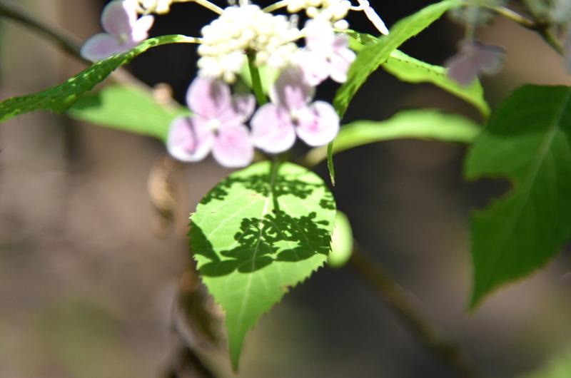 山アジサイ桃花