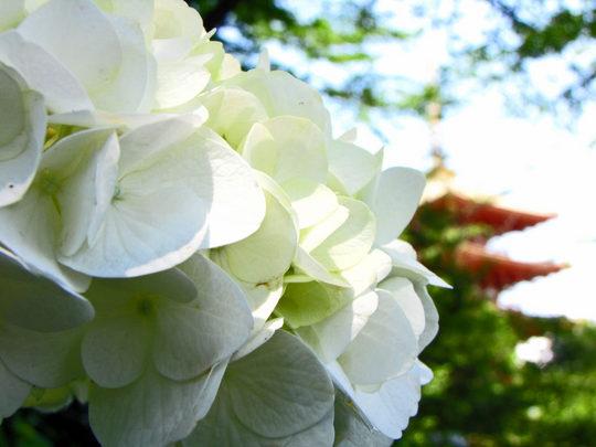 輝く西洋紫陽花2009-2