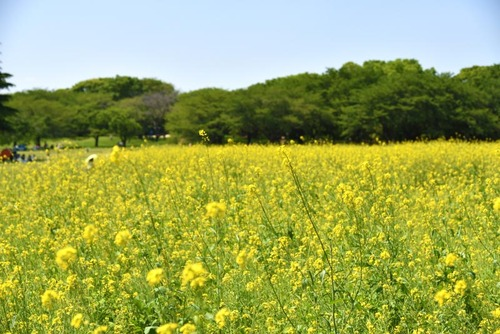 昭和記念公園201505-1