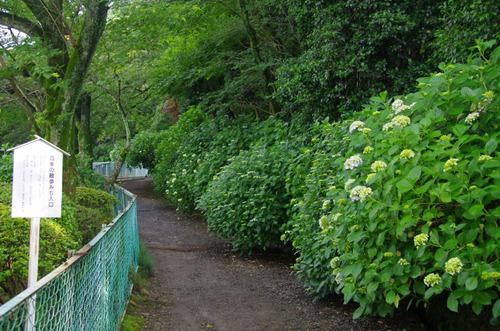 高幡不動尊あじさい祭り201106-6