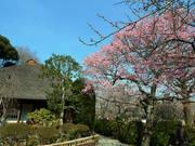 百草園梅祭090207-16