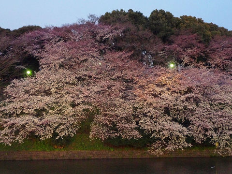 千鳥ヶ淵夜桜-4