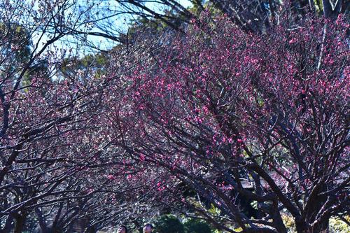 昭和記念公園 梅園