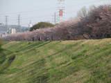 多摩川堤防の桜1