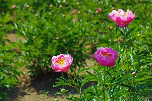 神代植物公園201305-1