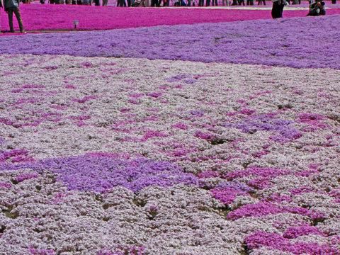 富士芝桜まつり-3