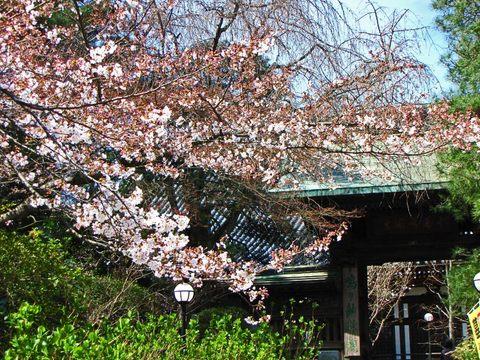 高幡不動尊の桜090329-1