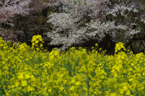 昭和記念公園菜の花と桜201104-7