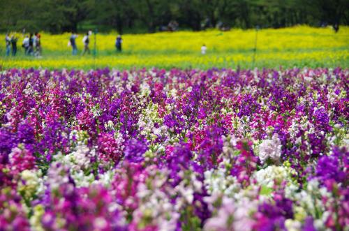 昭和記念公園20120428-3
