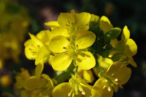 菜の花2010-7