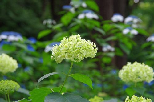 高幡不動尊あじさい祭り201106-15