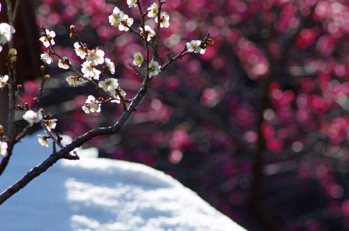 百草園梅まつり201102-3