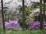高尾山0420ツツジと桜
