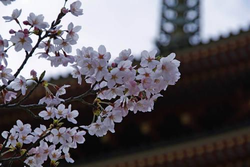 高幡不動尊桜201004-2