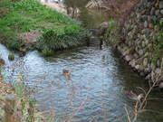 冬の向島用水路-4