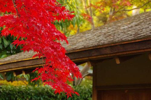 昭和記念公園紅葉201211-1