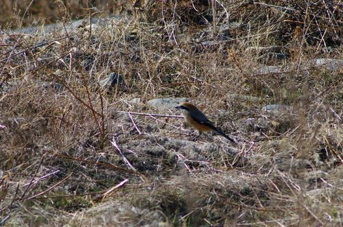 散歩道の野鳥201301-7