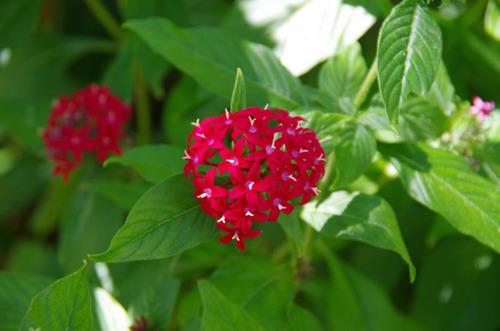 由布島の花201108-1