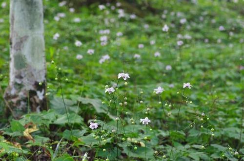 御岳山レンゲショウマ201208-5