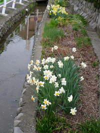 散歩写真200804水仙