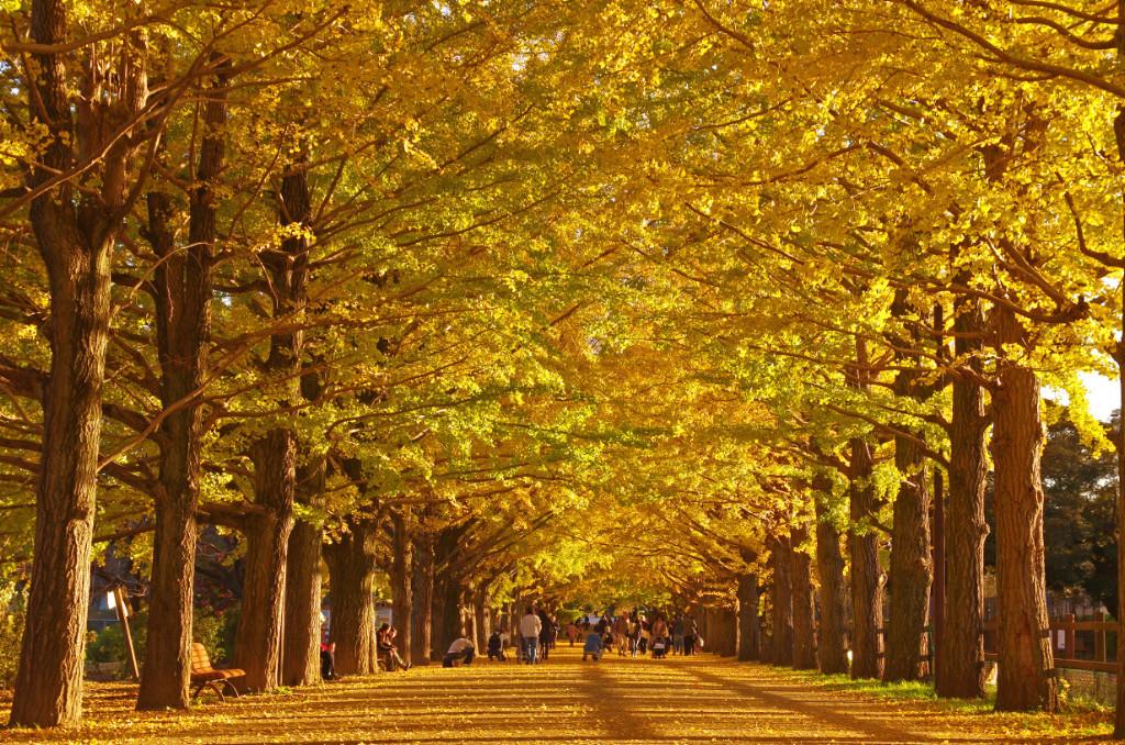 Image result for 昭和記念公園 イチョウ並木