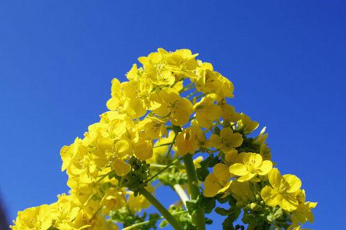 菜の花2010-6