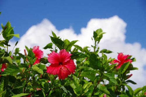 由布島の花201108-8