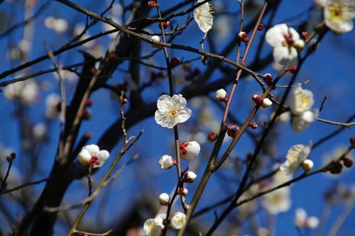 京王百草園201101-1