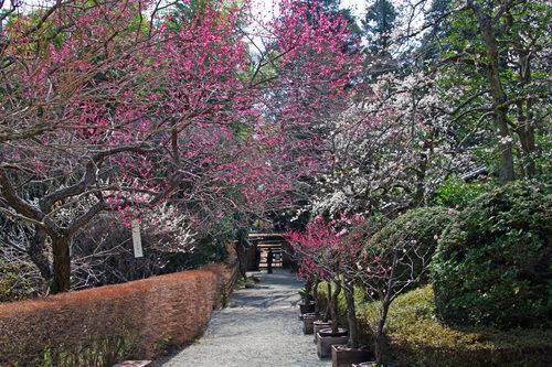 百草園梅まつり201003-3