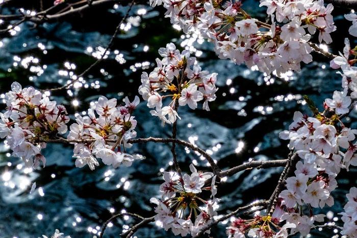 桜201904