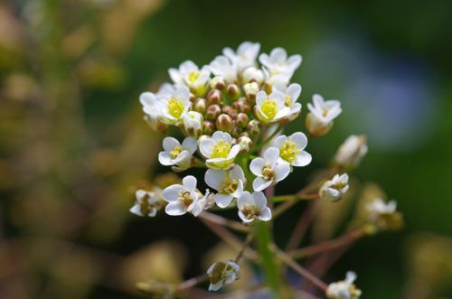 春の花201103-13