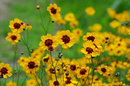 散歩道の花201107-6波斯菊 (はるしゃぎく)