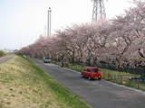 多摩川堤防の桜2