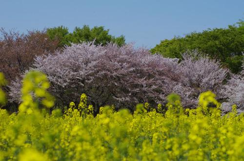 昭和記念公園菜の花と桜201104-4