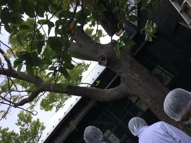 写真10 樹齢500年の欅